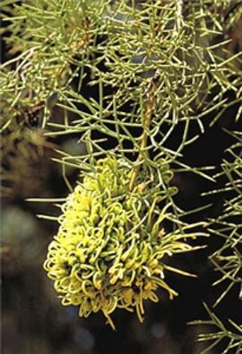 Nt flora flower image nt herbarium mightylinksfo
